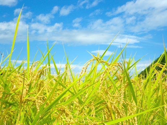 稲のイメージ画像