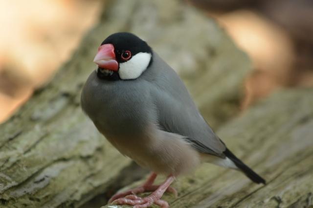 文鳥のイメージ画像2